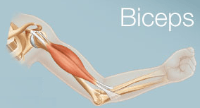 biceps physiotherapy treatments, tendon treatment, tendon, rotule, tendinite, biceps physiotherapy treatments, Physiothérapie, clinique de physiothérapie à Montréal, élongation du muscle, claquage, élongation musculaire du quadriceps, guérir blessure musculaire,